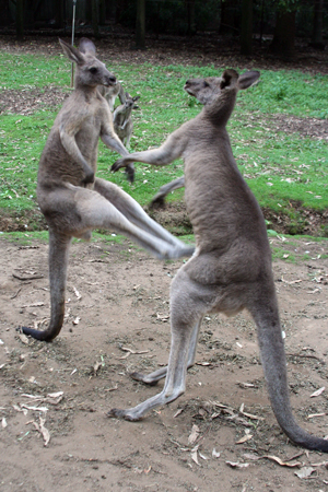 kangaroo kick boxer